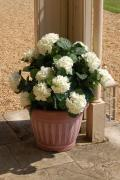 Artificial Hydrangea with pot